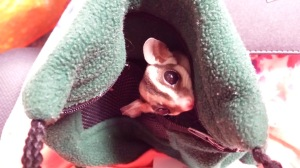 Author Ashley Crookham sugar glider Elske